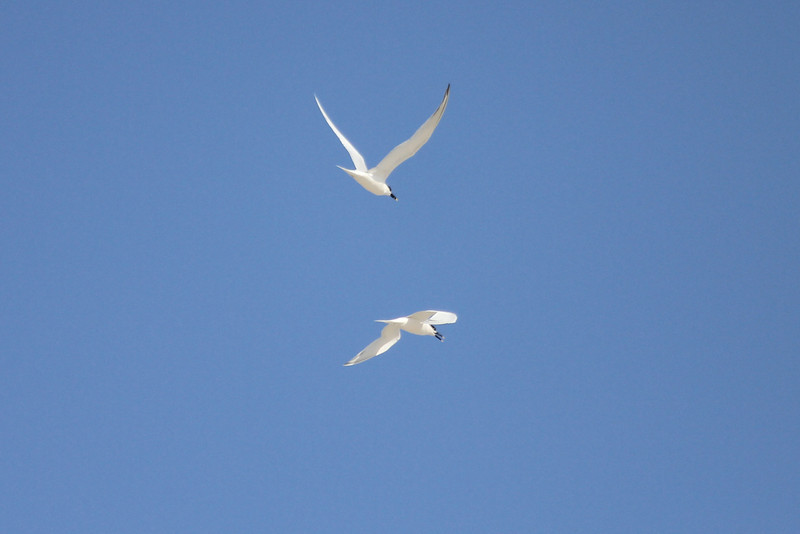 March 12, 2011 (Port Aransas Jetty / Nueces County, Texas) - Sandwich Terns