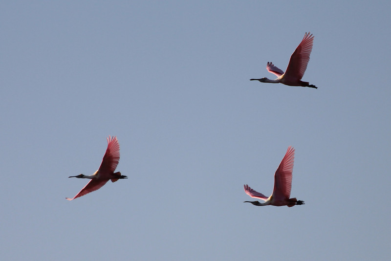 March 12, 2011 (Leonabelle Turnbull Birding Center / Port Aransas, Nueces County, Texas) - Roseate Spoonbills