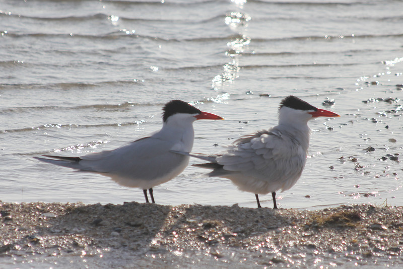 March 13, 2011 (Aransas National Wildlife Refuge / Calhoun County, Texas) - Caspian Terns