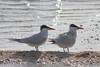 March 13, 2011 (Aransas National Wildlife Refuge / Calhoun County, Texas) - Caspian Terns