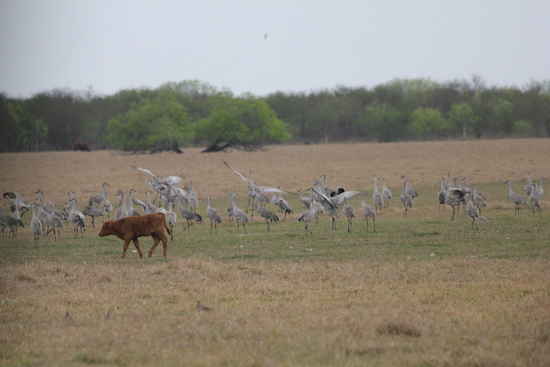 March 13, 2011 (King Ranch / Kingsville, Kleberg County, Texas) - Sandhill Cranes with King Ranch calf