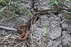 March 14, 2011 (Hugh Ramsey Nature Park, Harlingen Arroyo Colorado / Cameron County, Texas) - small Texas Brown Snake