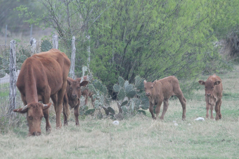 March 13, 2011 (King Ranch / Kingsville, Kleberg County, Texas) - King Ranch Cattle
