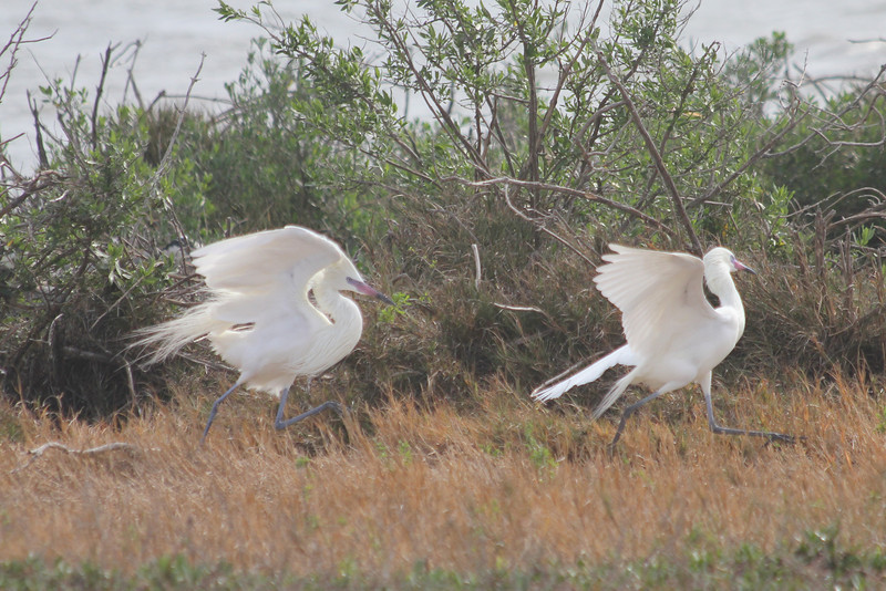 "March 13, 2011 (Aransas National Wildlife Refuge / Calhoun County, Texas) - ""White Morph"" Reddish Egrets"