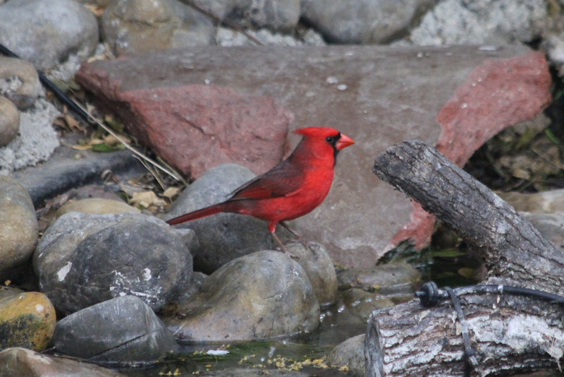 March 14, 2011 (Hugh Ramsey Nature Park, Harlingen Arroyo Colorado / Cameron County, Texas) - Northern Cardinal