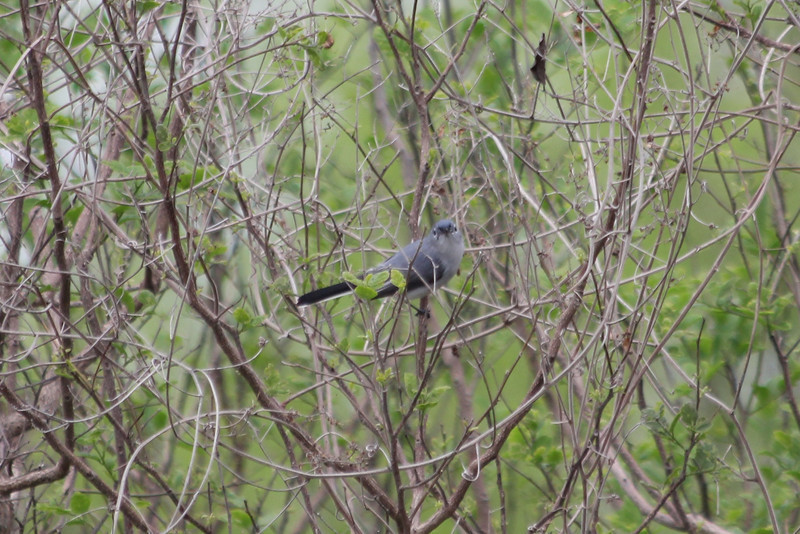 March 13, 2011 (King Ranch / Kingsville, Kleberg County, Texas) - Blue-gray Gnatcatcher