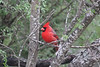 March 13, 2011 (King Ranch / Kingsville, Kleberg County, Texas) - Northern Cardinal