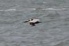 March 13, 2011 (Aransas National Wildlife Refuge / Calhoun County, Texas) - Brown Pelican
