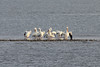 March 13, 2011 (Aransas National Wildlife Refuge / Calhoun County, Texas) - American White Pelicans