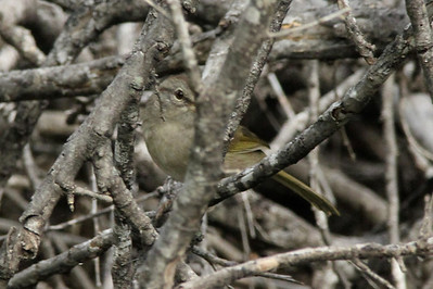 November 6, 2013 - (La Laja Ranch / Zapata County, Texas) -- Olive Sparrow