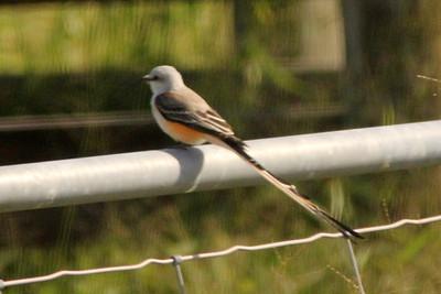 November 8, 2013 - (King Ranch [Norias Division] / Armstrong, Kenedy County, Texas) -- Scissor-tailed Flycatcher