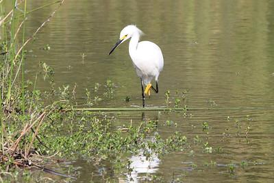 November 8, 2013 - (Estero Llano Grande State Park / Weslaco, Hidalgo County, Texas) -- Snowy Egret