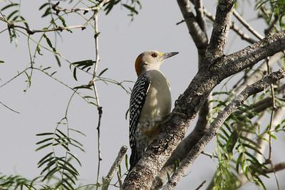 November 8, 2013 - (Estero Llano Grande State Park / Weslaco, Hidalgo County, Texas) -- Golden-fronted Woodpecker