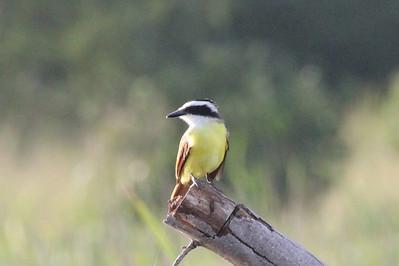 November 8, 2013 - (Estero Llano Grande State Park / Weslaco, Hidalgo County, Texas) -- Great Kiskadee