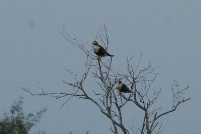 November 7, 2013 - (Old Port Isabel Road [Aplomado Alley] / Brownsville, Cameron County, Texas) -- Aplamado Falcons