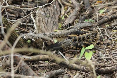 November 8, 2013 - (Estero Llano Grande State Park / Weslaco, Hidalgo County, Texas) -- Common Pauraque