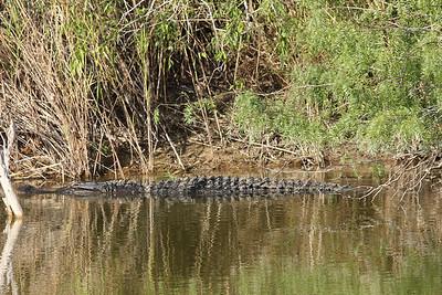 November 8, 2013 - (Estero Llano Grande State Park / Weslaco, Hidalgo County, Texas) -- Alligator