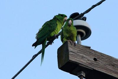 November 7, 2013 - (Holiday Inn [P Street] / Harlingen, Cameron County, Texas) -- Green Parakeets