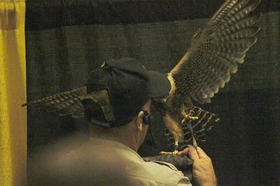 November 7, 2013 - (Harlingen Area Chamber of Commerce / Harlingen, Cameron County, Texas) -- Aplomado Falcon escapee's recapture
