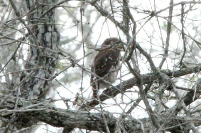 November 8, 2013 - (King Ranch [Norias Division] / Armstrong, Kenedy County, Texas) -- Ferruginous Pygmy Owl