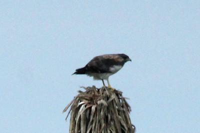 November 7, 2013 - (Boca Chica National Wildlife Refuge / Brownsville [Highway 4], Cameron County, Texas) -- White-tailed Hawk