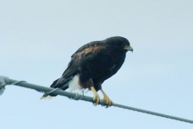 November 7, 2013 - (Boca Chica National Wildlife Refuge / Brownsville [Highway 4], Cameron County, Texas) -- Harris's Hawk