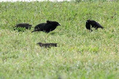 November 7, 2013 - (Brownsville, Cameron County, Texas) -- Bronzed Cowbirds