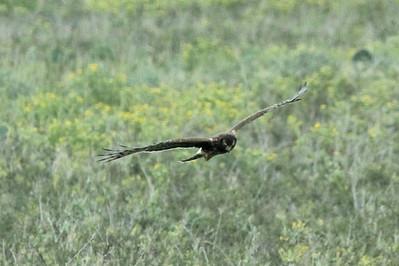 November 7, 2013 - (Boca Chica National Wildlife Refuge / Brownsville [Highway 4], Cameron County, Texas) -- Northern Harrier