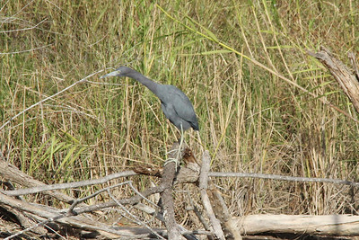 November 8, 2013 - (Estero Llano Grande State Park / Weslaco, Hidalgo County, Texas) -- Little Blue Heron