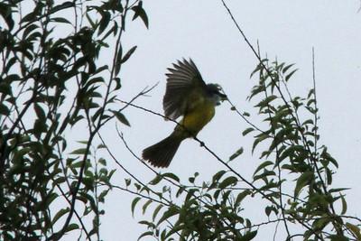 November 6, 2013 - (La Laja Ranch / Zapata County, Texas) -- Couch's Kingbird