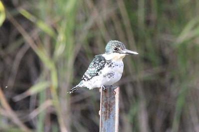 November 8, 2013 - (Estero Llano Grande State Park / Weslaco, Hidalgo County, Texas) -- Green Kingfisher