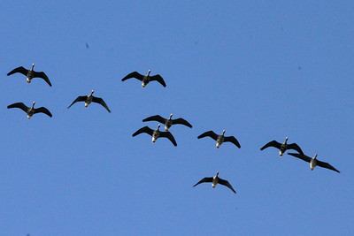 November 8, 2013 - (King Ranch [Norias Division] / Armstrong, Kenedy County, Texas) -- Greater White-fronted Geese