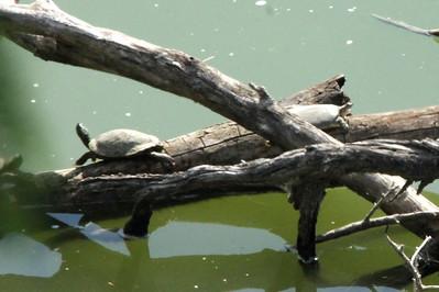 November 6, 2013 - (Roma [overlook] / Starr County, Texas) -- Turtles [Red Slider & Texas Softshell] Rio Grande