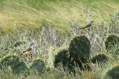 November 7, 2013 - (Boca Chica National Wildlife Refuge / Brownsville [Highway 4], Cameron County, Texas) -- Pair of Scissor-tailed Flycatchers