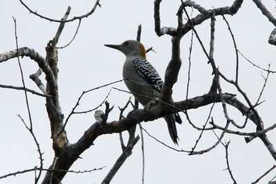November 6, 2013 - (La Laja Ranch / Zapata County, Texas) -- Golden-fronted Woodpecker