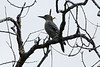 November 6, 2013 - (La Laja Ranch / Zapata County, Texas) -- Golden-fronted Woodpecker