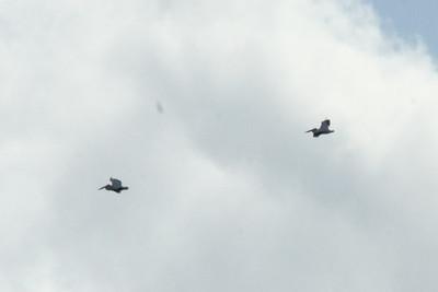 November 8, 2013 - (Estero Llano Grande State Park / Weslaco, Hidalgo County, Texas) -- American White Pelicans in flight over Park