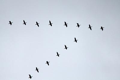 November 8, 2013 - (King Ranch [Norias Division] / Armstrong, Kenedy County, Texas) -- Neotropic Cormorants