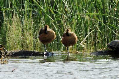 November 8, 2013 - (Estero Llano Grande State Park / Weslaco, Hidalgo County, Texas) -- Fulvous Whistling Duck