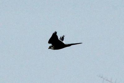 November 7, 2013 - (Old Port Isabel Road [Aplomado Alley] / Brownsville, Cameron County, Texas) -- Aplamado Falcon