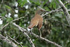 November 6, 2013 - (La Laja Ranch / Zapata County, Texas) -- Long-billed Thrasher