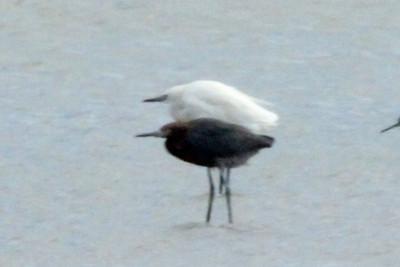"November 7, 2013 - (Boca Chica National Wildlife Refuge / Brownsville [Highway 4], Cameron County, Texas) -- Reddish Egret with ""White morph"" Reddish Egret"
