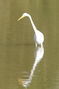 November 8, 2013 - (Estero Llano Grande State Park / Weslaco, Hidalgo County, Texas) -- Great Egret