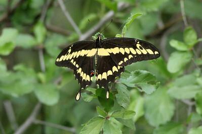 November 6, 2013 - (La Laja Ranch / Zapata County, Texas) -- Black Swallowtail Butterfly