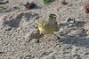 DSC_2821 Yellow Warbler
