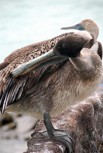 DSC_3688 Pelican and Boobie