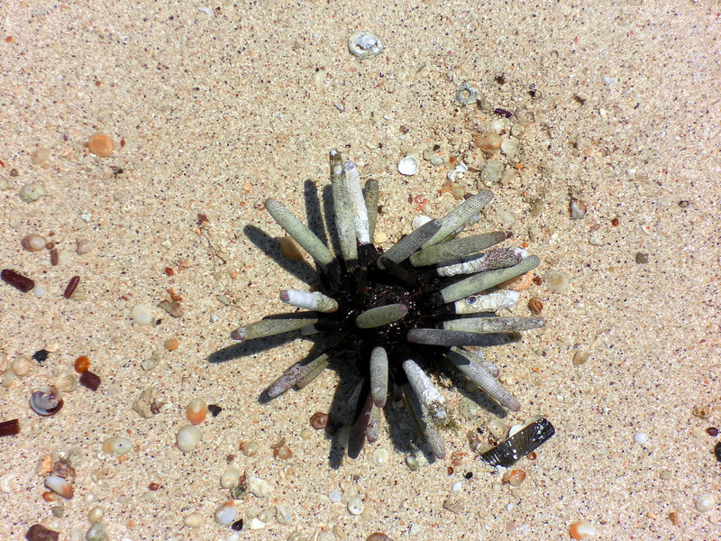 SAM_0767 Pencil Sea Urchin
