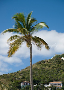 Palm tree in St. Maarten.