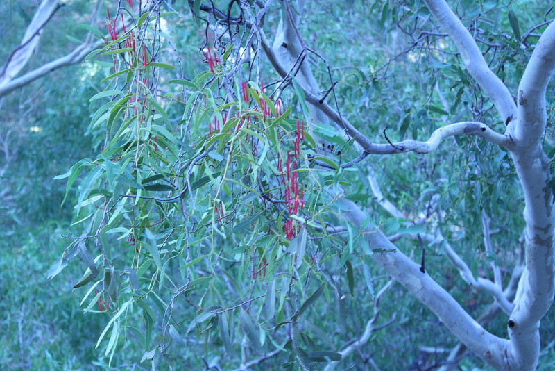 The great train ride part 2 kings canyon and alice springs mistletoe flowers mightylinksfo