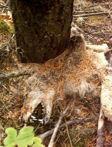 deadcoyote